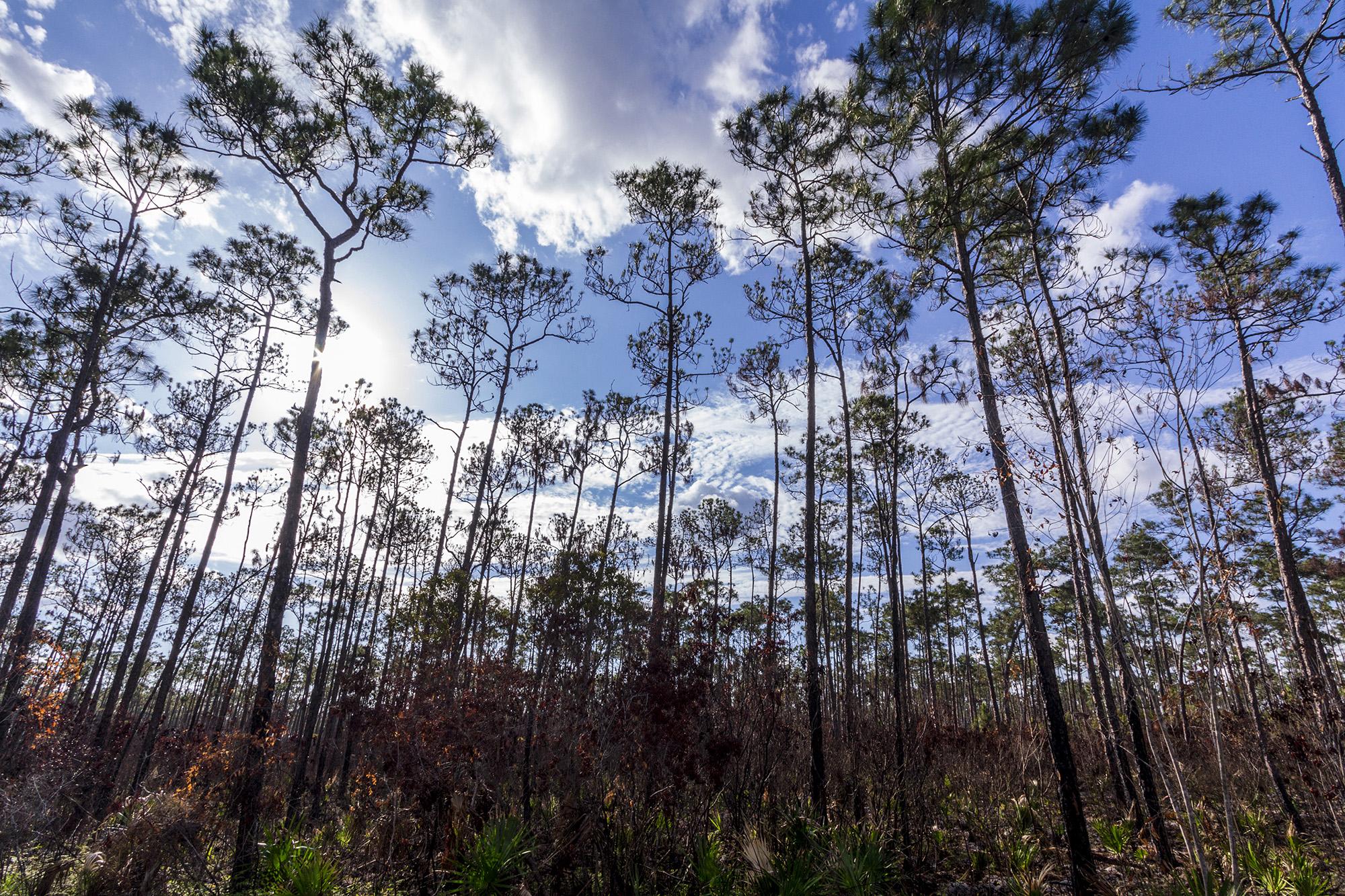 Long Pine Key au parc des Everglades en Floride