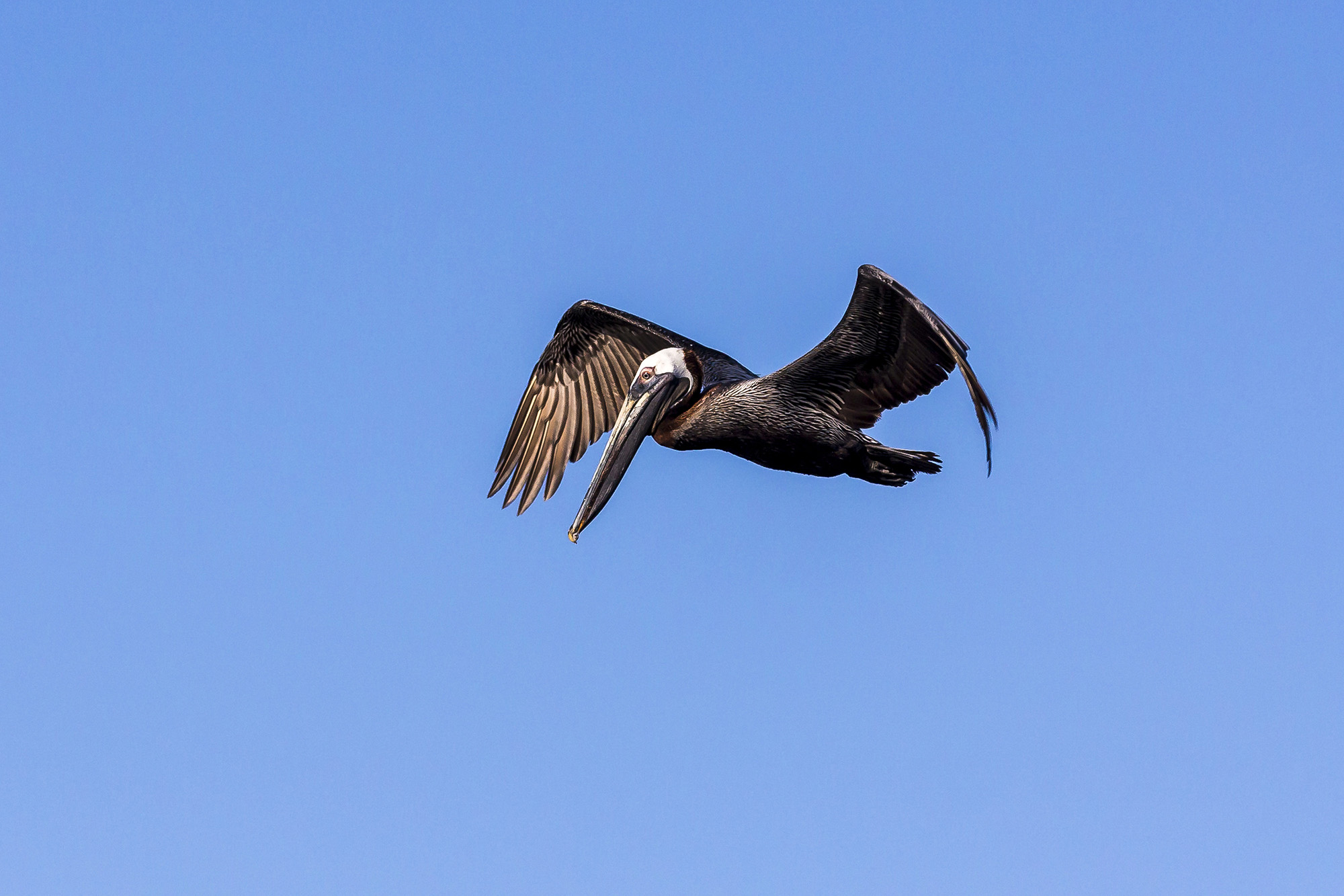 Pélican brun (Pelecanus occidentalis) en Floride