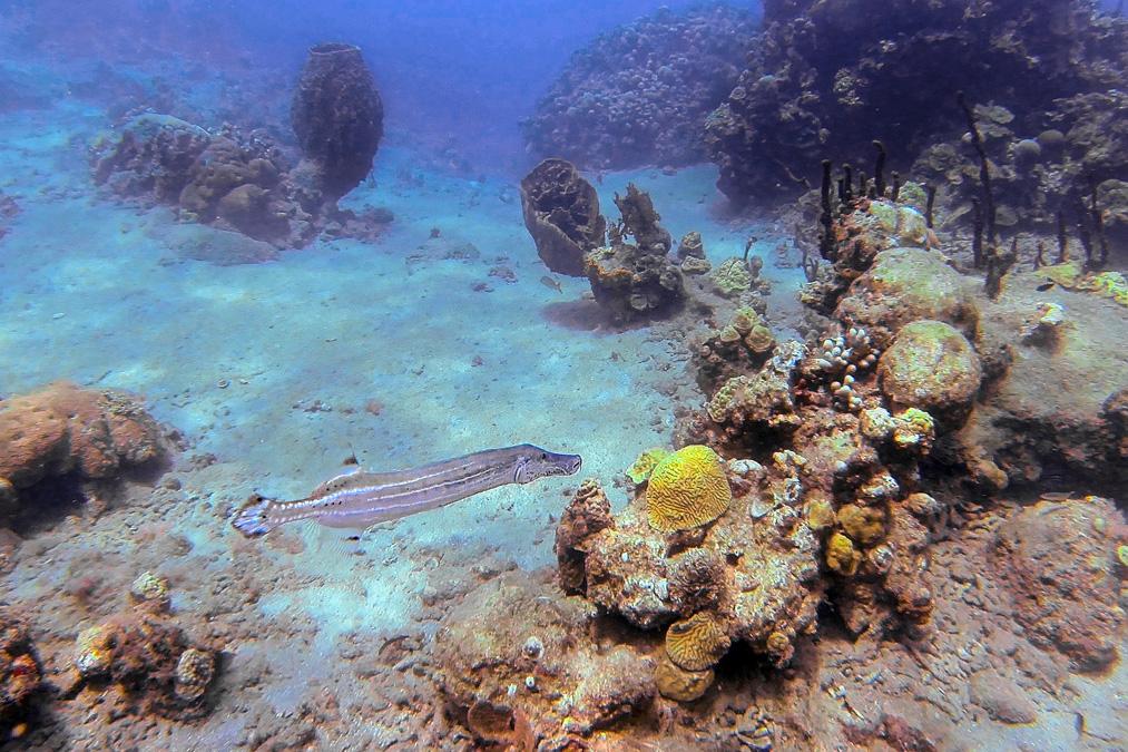 Poisson-trompette tacheté (Aulostomus maculatus) de l'île Sainte-Lucie
