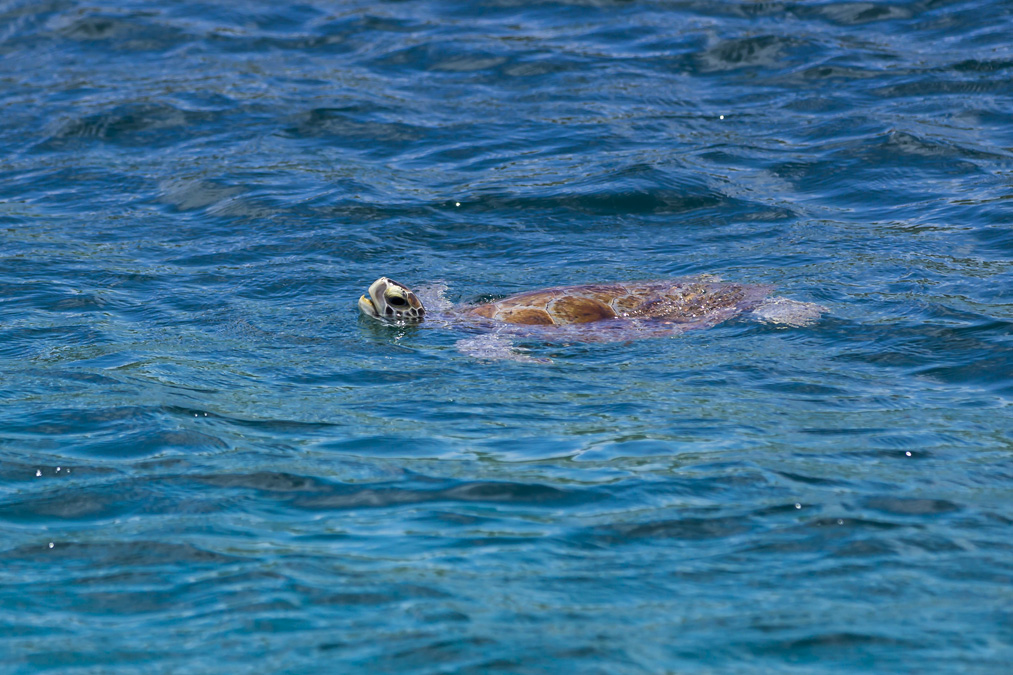 Tortue verte (Chelonia mydas) aux Grenadines