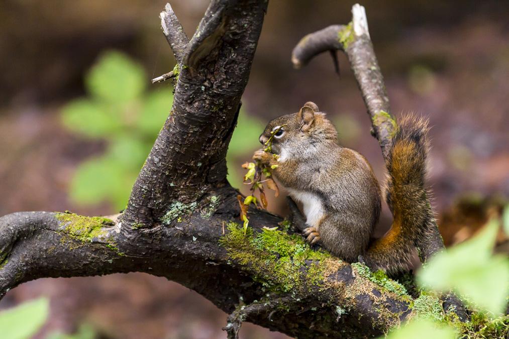Écureuil roux (Tamiasciurus hudsonicus) au Canada