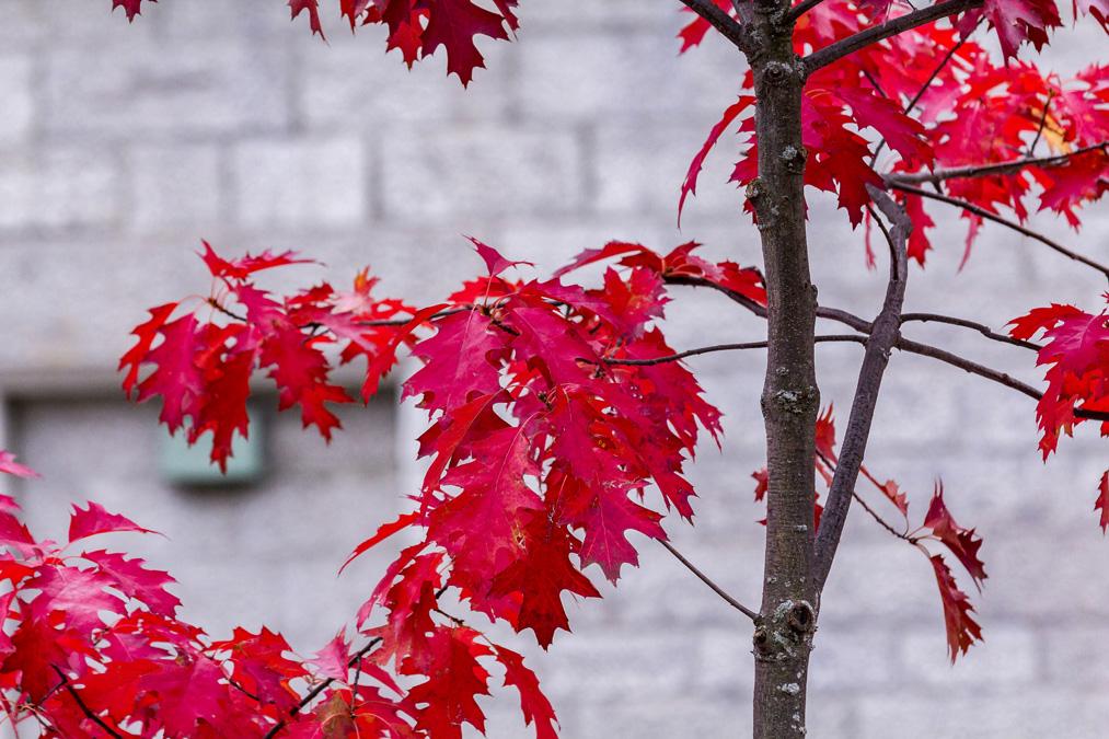 Érable rouge dans la ville de Québec au Canada