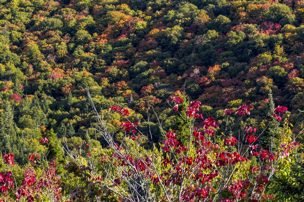 Forêt d'érables dans le Parc National du Mont Tremblant au Canada