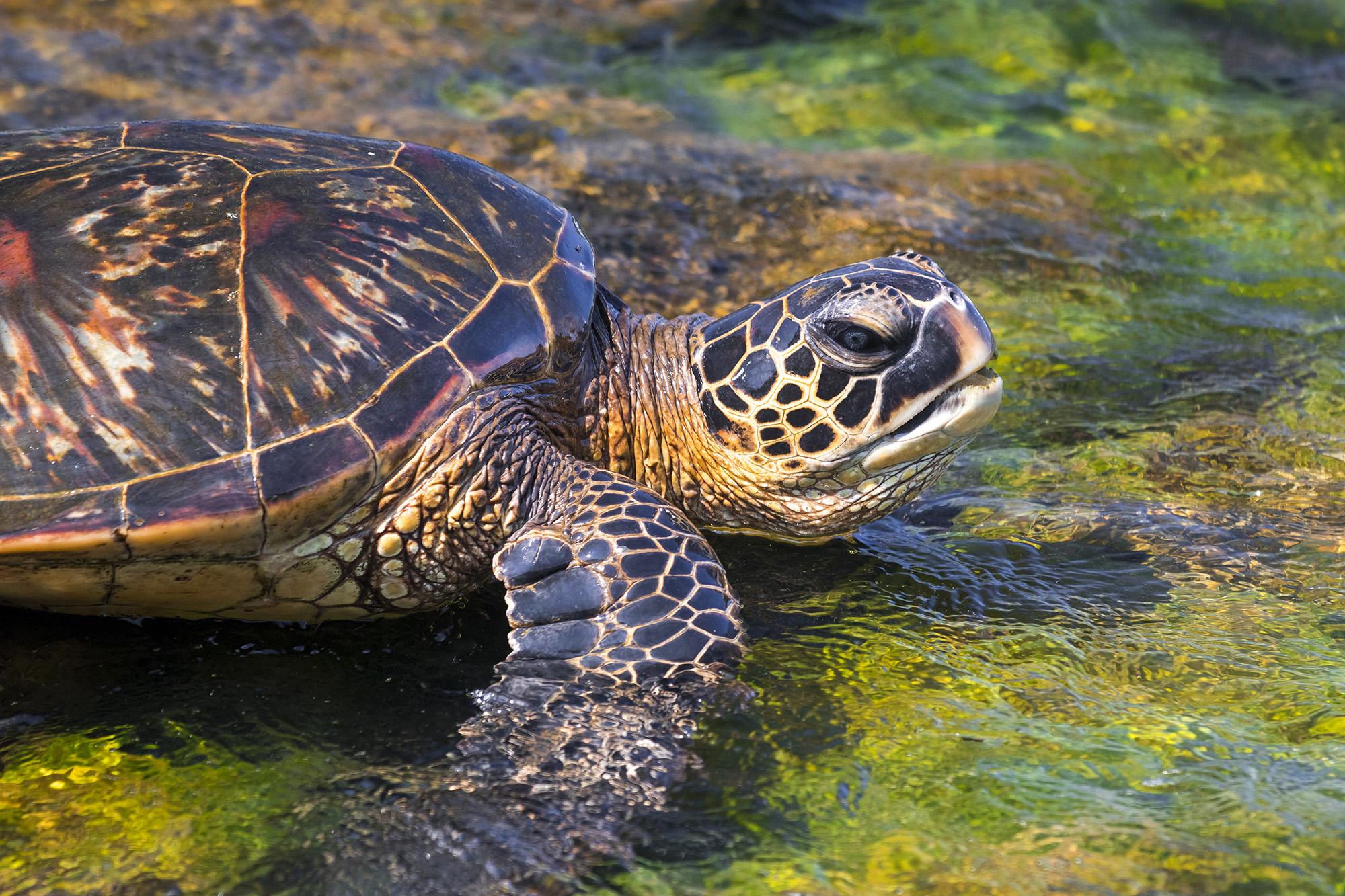 Tortue verte (Chelonia mydas) à Hawaï
