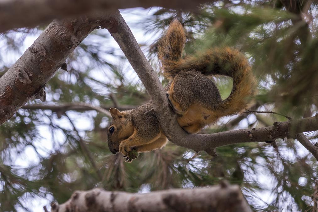 Écureuil roux américain (Tamiasciurus hudsonicus) aux Etats-Unis