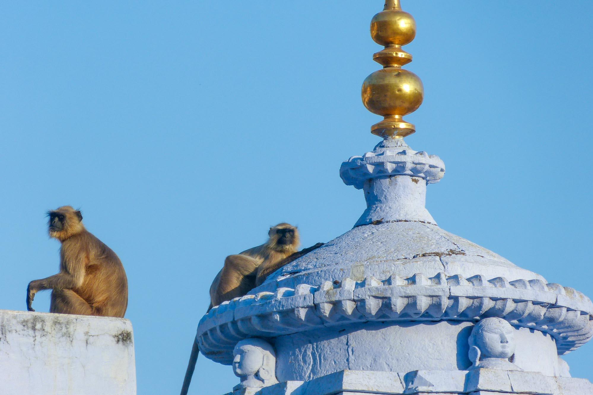 Entelle ou Langur d'Hanuman (Semnopithecus entellus) en Inde du Nord