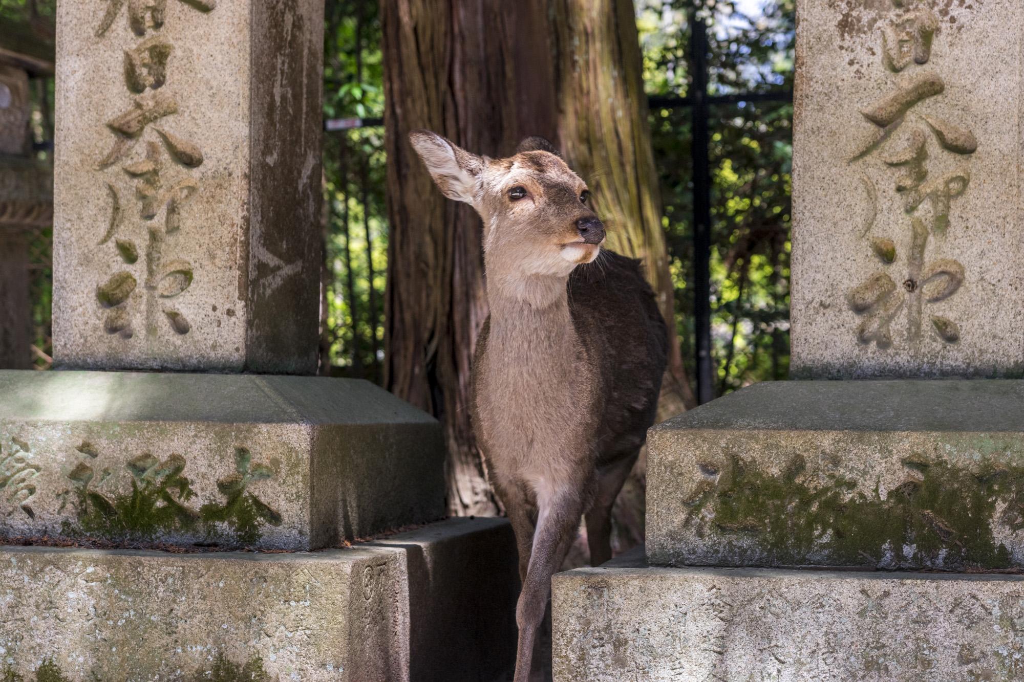 Cerf sika (Cervus nippon) au Japon