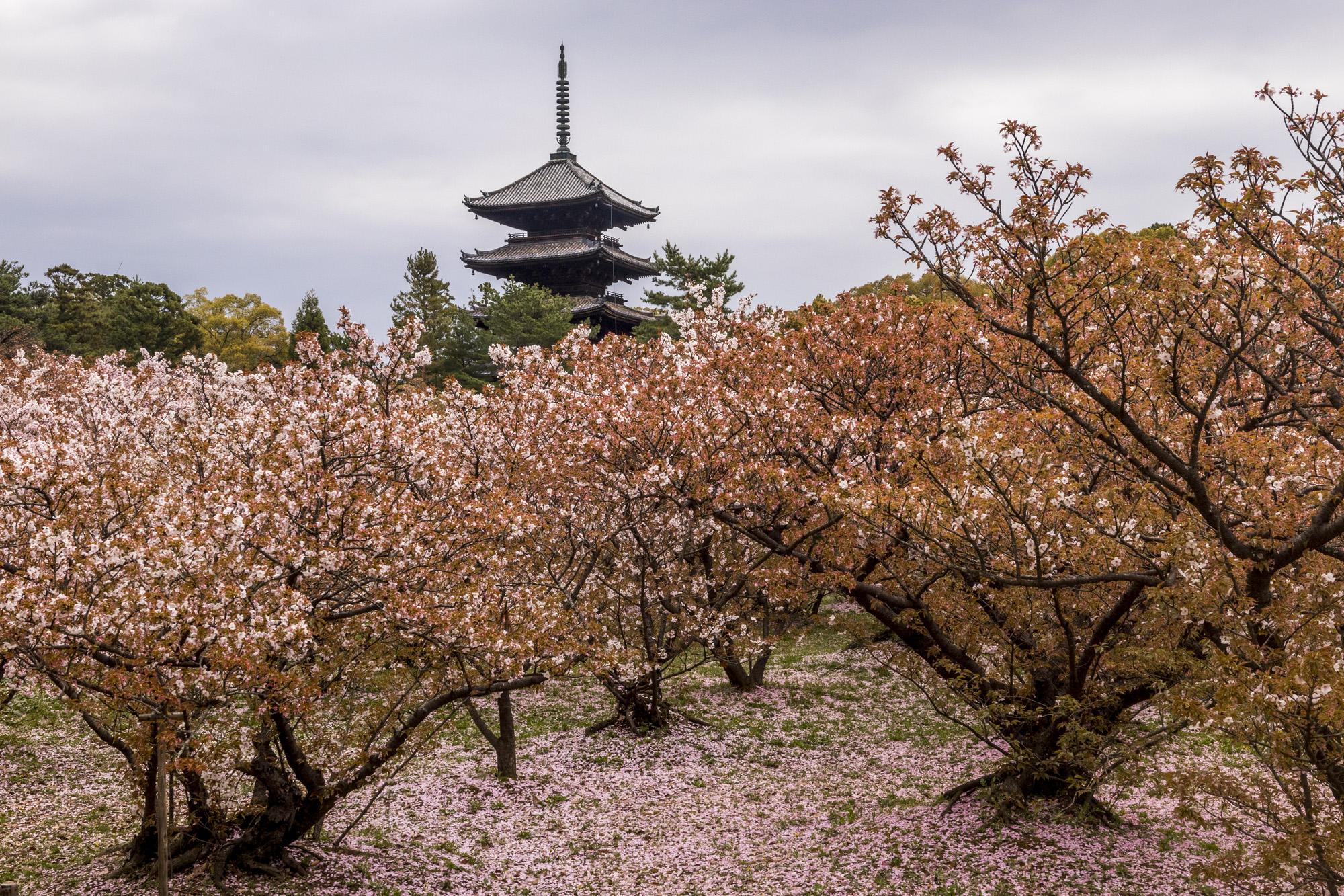 Ninna-ji dans la ville de Kyōto au Japon