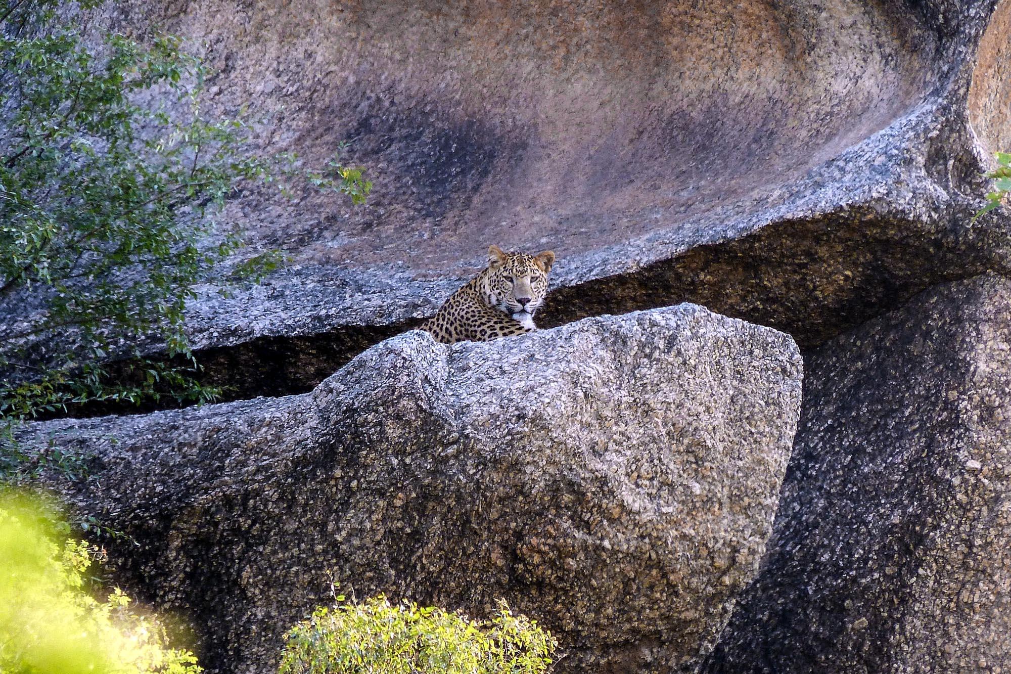 Léopard indien (Panthera pardus fusca) en Inde du Nord
