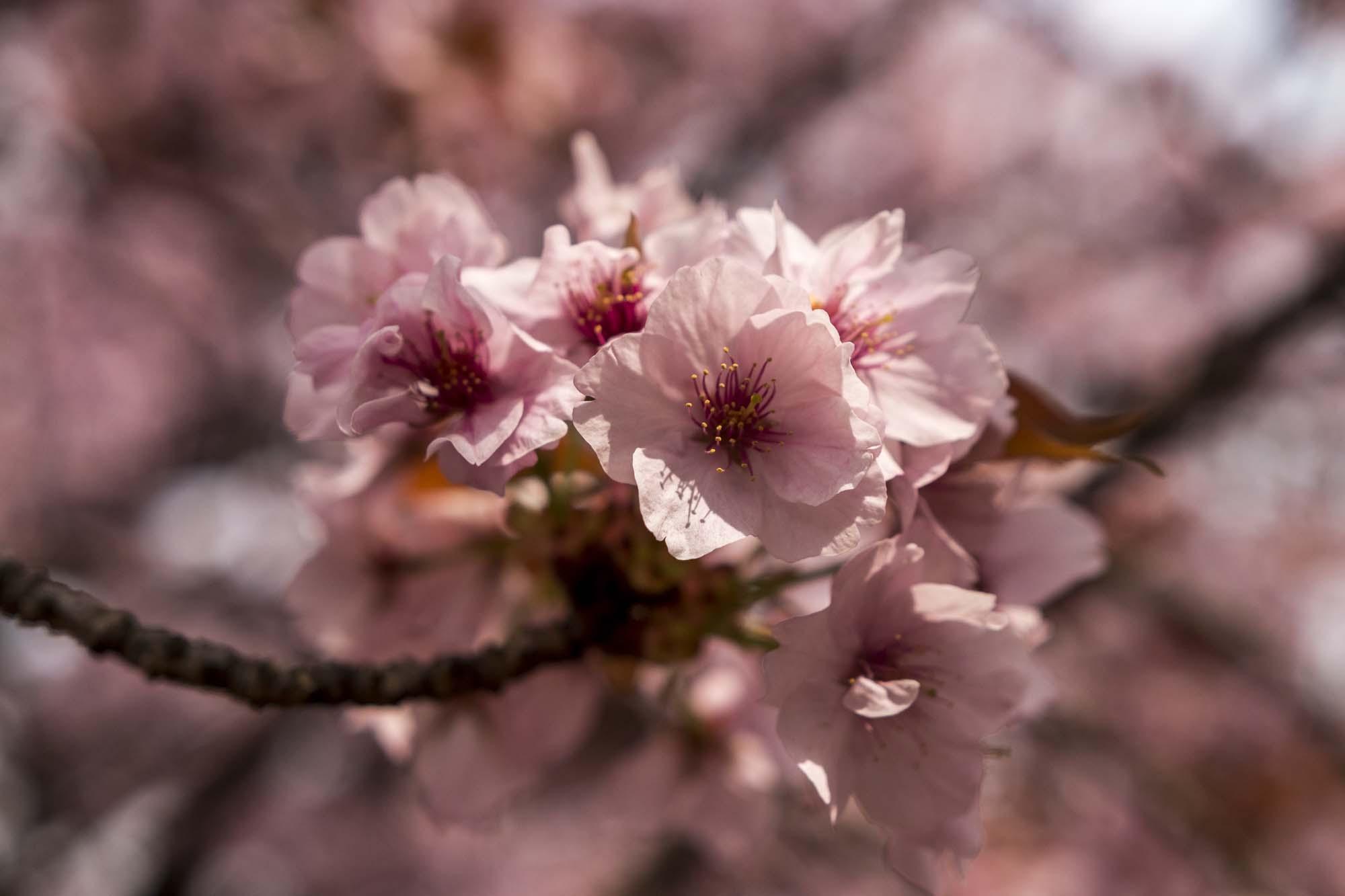 Cerisier du japon (Prunus serrulata) au Japon